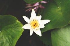 Wit Lotus op Achtergrond Royalty-vrije Stock Foto