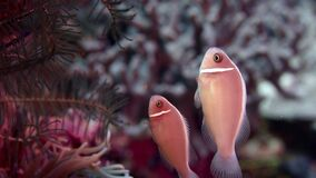 Wit-maned anemonefish of roze anemonefish, Amphiprion-perideraion stock video