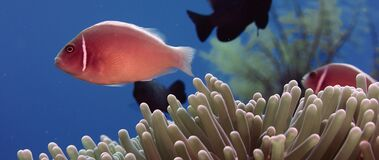 Wit-maned anemonefish verbergt ia anemoon stock video