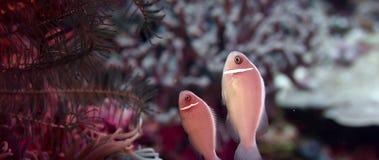 Wit-maned anemonefish verbergt ia anemoon stock videobeelden