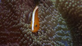 Wit-maned anemonefish verbergt ia anemoon stock footage