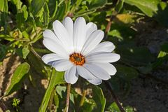 Wit Margrietmadeliefje wildflower stock afbeeldingen
