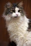 Wit met bruine kat Stock Fotografie