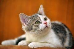 Wit met grijs katje stock afbeeldingen