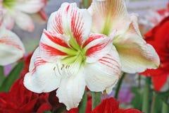 Wit met rode hippeastrum, Amaryllis-bloem het bloeien stock afbeeldingen