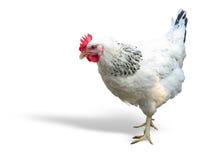 Wit met zwarte die kip over wit wordt geïsoleerd Stock Foto
