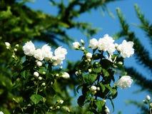 Wit nam groeiend tegen blauwe hemel toe Stock Foto's