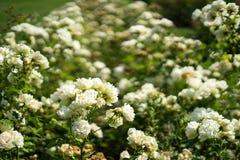 Wit nam in Rose Gardens toe royalty-vrije stock foto
