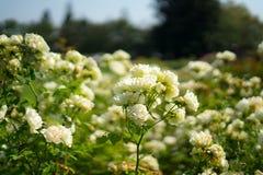 Wit nam in Rose Gardens toe royalty-vrije stock afbeelding