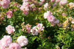 Wit nam in Rose Gardens toe stock foto