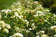 Wit nam in Rose Gardens toe stock foto's