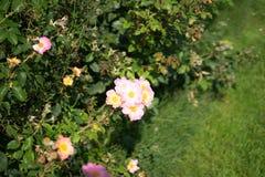Wit nam in Rose Gardens toe stock afbeeldingen
