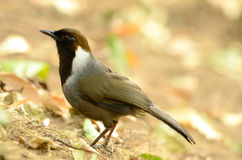 Wit-necked laughingthrush stock foto's