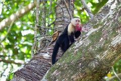 Wit-onder ogen gezien capuchin Royalty-vrije Stock Foto