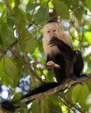 Wit-onder ogen gezien Capuchin die een Banaan eet stock foto