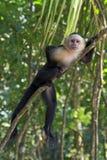 Wit - onder ogen gezien Capuchin stelt op een boom Royalty-vrije Stock Afbeelding