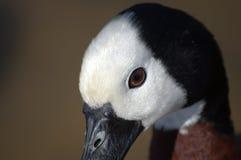 Wit-onder ogen gezien het fluiten eend, close-up Royalty-vrije Stock Foto's