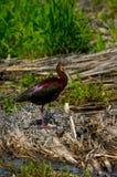Wit-onder ogen gezien Ibis Royalty-vrije Stock Foto's
