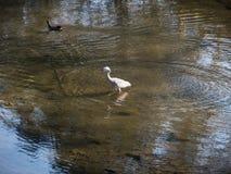 Wit-onder ogen gezien Reigervogel die op ondiep meerwater lopen royalty-vrije stock foto