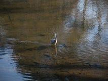 Wit-onder ogen gezien Reigervogel die op ondiep meerwater lopen stock afbeeldingen