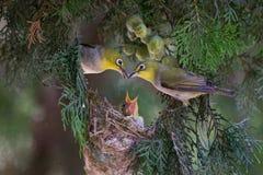 Wit-oog - de liefde van ouders door hart Royalty-vrije Stock Fotografie