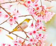 Wit-oogvogel en kersenbloesem of sakura Royalty-vrije Stock Foto