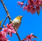 Wit-oogvogel op takje van roze kersenbloesem stock foto's