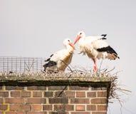 Wit ooievaarspaar in hun nest op een schoorsteen Royalty-vrije Stock Fotografie