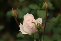 Wit openen nam met Roze toe royalty-vrije stock fotografie