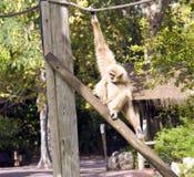 Wit-overhandigd Gibbon de dierlijke reserve van de zoogdierprimaat, carnivoor royalty-vrije stock foto