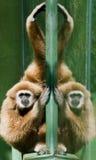 Wit-overhandigde Gibbon Royalty-vrije Stock Afbeeldingen