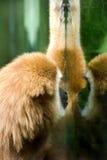 Wit-overhandigde Gibbon Royalty-vrije Stock Fotografie