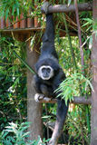 Wit-overhandigde Gibbon Royalty-vrije Stock Foto