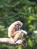 Wit-overhandigde gibbon Stock Fotografie
