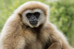 Wit-overhandigde Gibbon Royalty-vrije Stock Foto