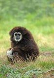 Wit-overhandigde gibbon Stock Afbeeldingen