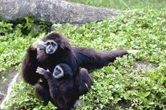 Wit-overhandigde gibbon het dierlijk wild Stock Afbeeldingen