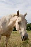 Wit Paard royalty-vrije stock afbeeldingen