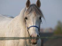 Wit paard Royalty-vrije Stock Afbeelding
