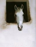 Wit paard Stock Afbeeldingen