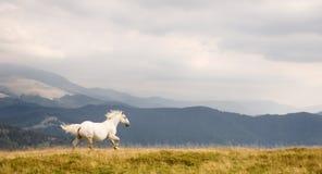 Wit paard Stock Afbeelding