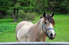 Wit paard Stock Foto