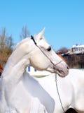Wit paard Arabier Stock Afbeelding