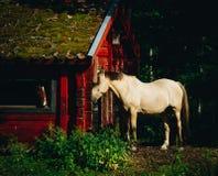 Wit paard in avond lichte status door een rood huis royalty-vrije stock fotografie