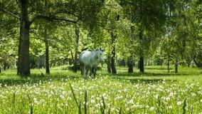 Wit paard bij de groene weide stock footage