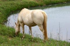 Wit Paard bij Vijver Royalty-vrije Stock Afbeeldingen