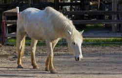 Wit Paard binnen Corral stock afbeeldingen