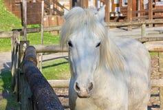 Wit Paard binnen Corral royalty-vrije stock foto