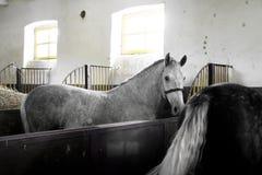 Wit Paard binnen een Stal Stock Afbeeldingen