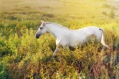 Wit paard die in het gras lopen royalty-vrije stock afbeelding